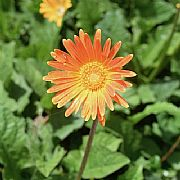 GERBERA JAMESONII GARVINEA TM SWEET CAROLINE