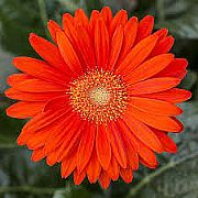 GERBERA JAMESONII GARVINEA TM SWEET GLOW