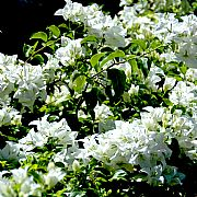 Bougainvillea Spectabilis White Cascade