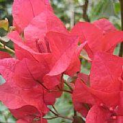 Bougainvillea Spectabilis Scarlet Glory